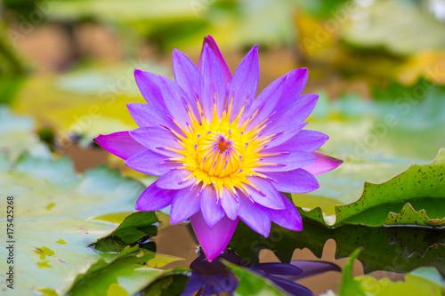 Foto  Lotus Flower