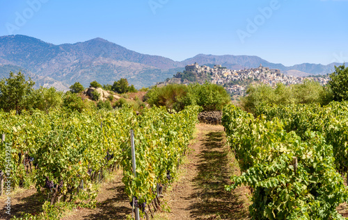 vineyard in the mount etna, sicily, italy