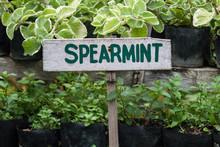 Spearmint Growing In A Garden. Spearmint Sign.