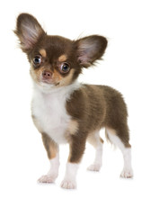 Puppy Brown Chihuahua