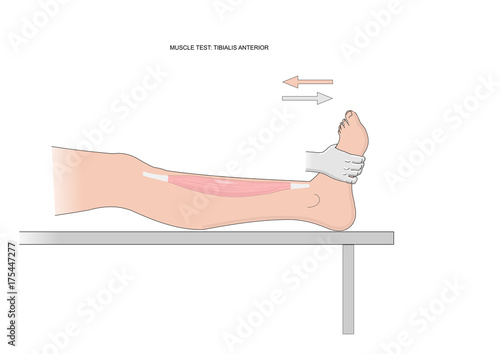 Photo Muscle test of the tibialis anterior, test used in kinesiology, neurology, physiotherapy