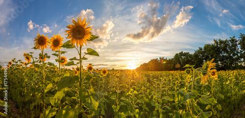 In de dag Zonnebloem Field of blooming sunflowers