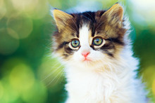 Portrait Of A Small Fluffy Kitten In Nature On A Bokeh Background