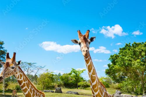 giraffes in the zoo safari park. Beautiful wildlife animals Poster
