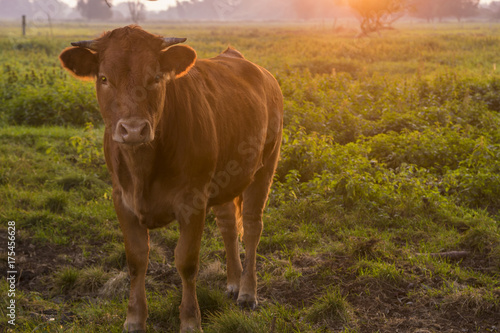Photo Stands Cow young bull in the morning light on the pasture