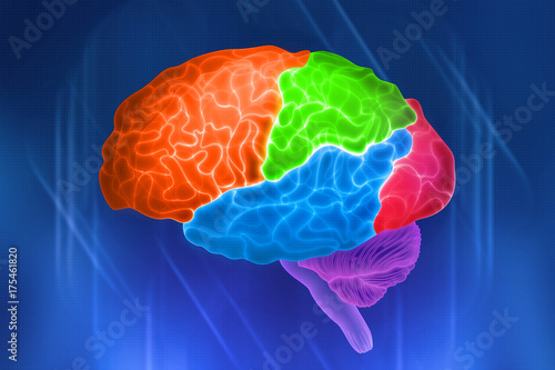 Parts of the human brain  Color designation of shares