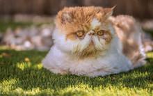 Gato Persa Al Sol Sobre Cesped