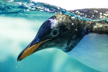 Close Up Underwater Penguin.