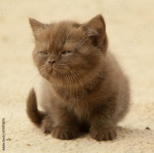 British short hair chocolate kitten, 1,5 month's old