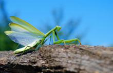 A Bright Green Mantis With Open Wings. Closeup. Copy Spaces.