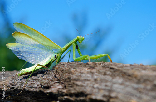 Fototapeta  A bright green mantis with open wings. Closeup. Copy spaces.