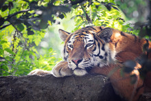 Siberian Tiger Resting In The ...