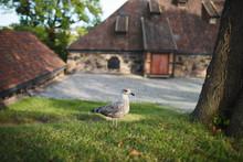 Walking Seagull At Yard