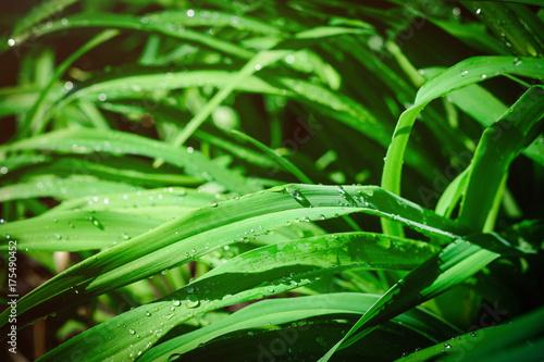 Fotografia Leaves of sedge with raindrops close-up. Selective focus.