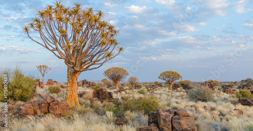 Fotografía  Beautiful exotic quiver tree in rocky and arid Namibian landscape, Namibia, Sout