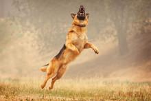 A Shepherd Dog Runs After A Fr...