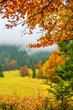 A view of a glade with fir trees in the fog through the branches of yellow trees. A beautiful view of the autumn forest and trees.