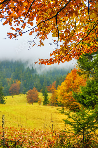 Foto op Plexiglas Panoramafoto s A view of a glade with fir trees in the fog through the branches of yellow trees. A beautiful view of the autumn forest and trees.