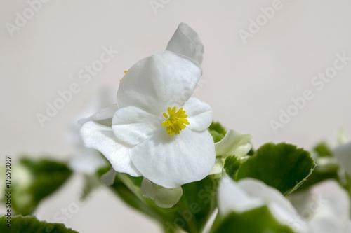 Zdjęcie XXL Begonia cucullata alba w rozkwicie