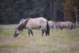 Koń Konik zjada trawę - 175515240