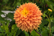 Dahlia Flower Close Up.
