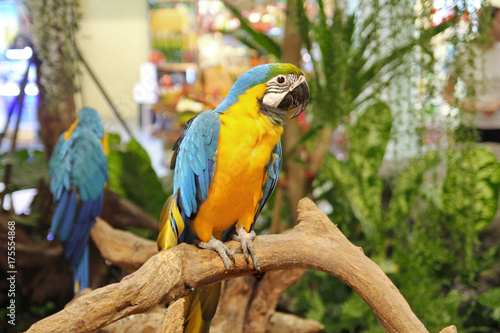 4 Months male blue and yellow macaw parrot in mall .