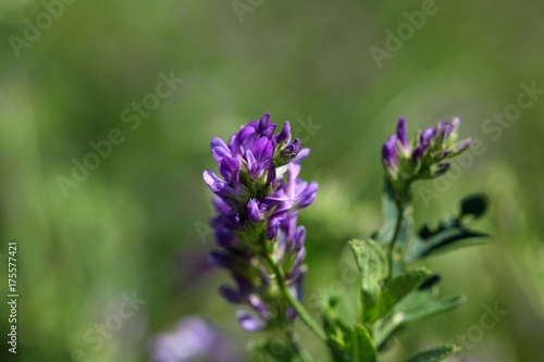 Alfalfa or Lucerne flowers Canvas Print