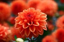 Red A Dahlia./Red Flower Dahli...