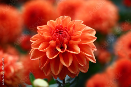 Foto op Plexiglas Dahlia Red a dahlia./Red flower dahlia on background red flowers dahlias.