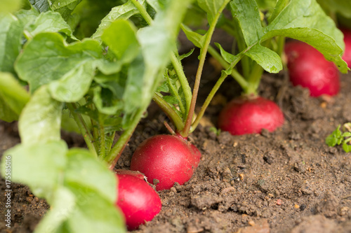 Fresh Wet Red Radish With Green Leaves In Ground Growing In Row In Vegetable Garden Close Up.