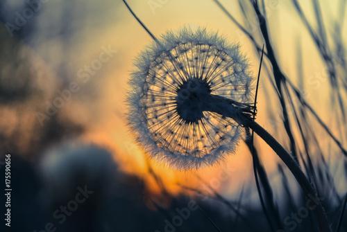 Löwenzahn - Pusteblume bei Sonnenaufgang