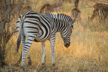 Zebra Grazing With Herd Of Imp...