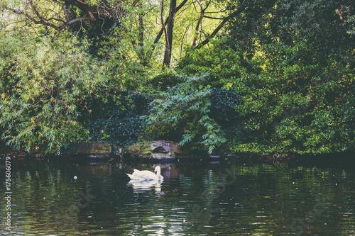 Obraz na dibondzie (fotoboard) staw z łabędzią i głęboką zieloną roślinnością w Dublinie