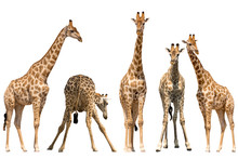 Set Of Five Giraffe Portraits,...