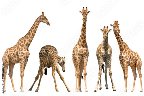 Photo  Set of five giraffe portraits, standing, isolated on white background