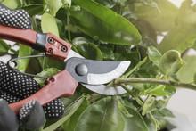 Pruning Shears Cutting Tree In...