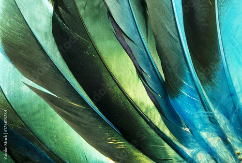 Native American Indian turquoise feathers. This is a colorful macro photo of some turquoise and green duck feathers from a Native American Indian costume.