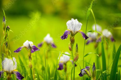 Foto op Canvas Iris iris flowers