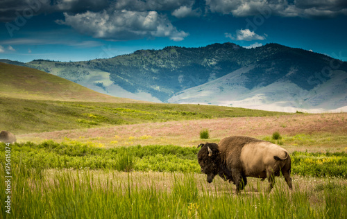 Canvas Prints Bison Bison in Montana