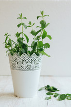 Fresh Peppermint In A White Flowerpot On White Wooden Background