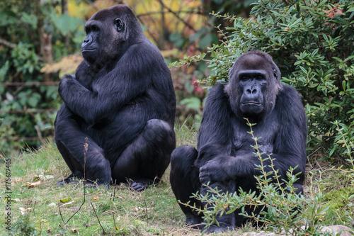 Photo Laaglandgorilla, Gorilla gorilla gorilla