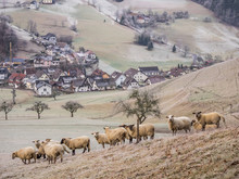 Flock Of Sheep On Meadow With ...