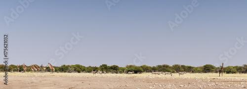 Zdjęcie XXL Żyrafy przy Etosha park narodowy, panorama, żyrafa i zebry w Etosha parku narodowym, Afryka.