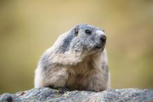 Portait Of A Marmot