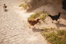 Chicken On Backyard