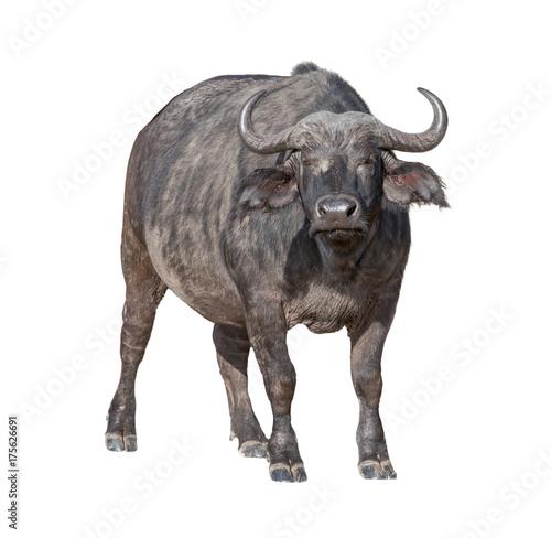 Staande foto Buffel African Cape Buffalo Isolated