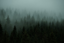 The Forest Of Coniferous Trees The Fir In The Fog. Vintage Style.