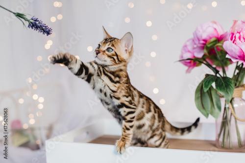 Photo bengal cats babys leopard kitten