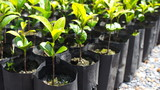 Close-Up Picture:Seedlings in nursery bags waiting to be planted. plantation concept.