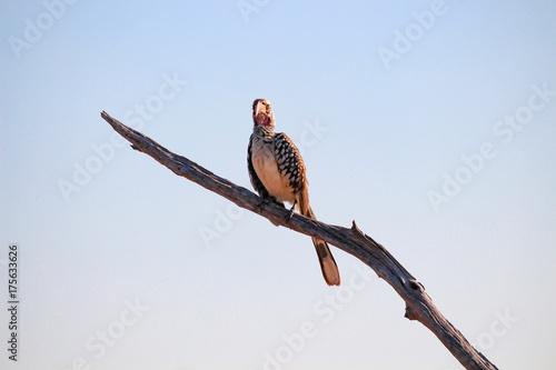 Botswana, Chobe National Park, Game Drive, Safari am Chobe Fluss, gefleckter Vogel auf Ast unter klarem Himmel